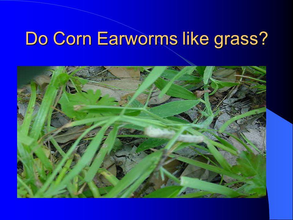Do Corn Earworms like grass?