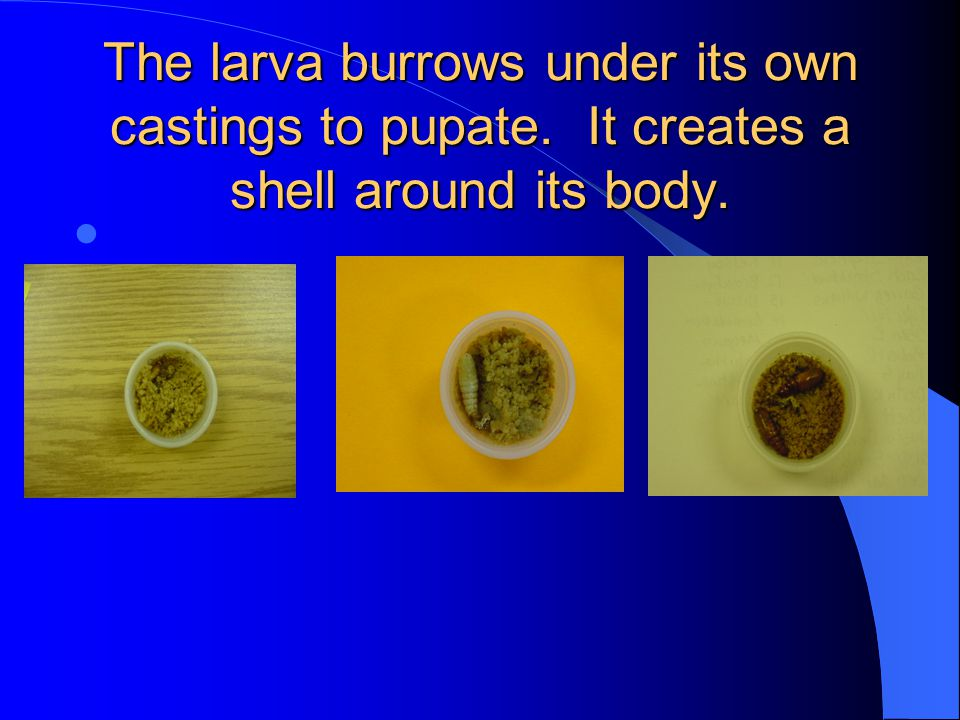 The larva burrows under its own castings to pupate. It creates a shell around its body.