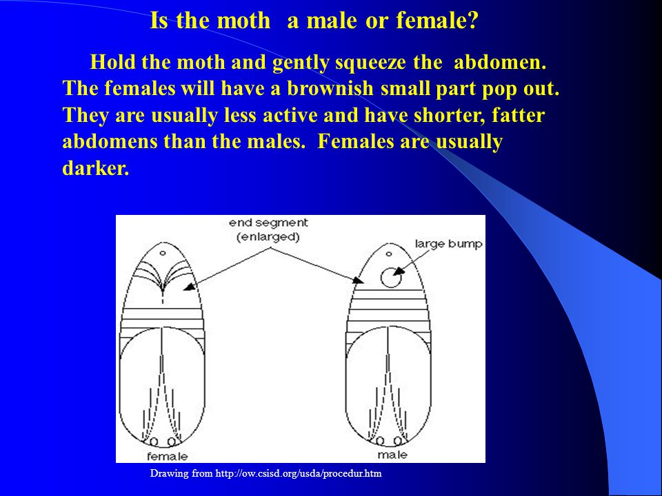 Is the moth a male or female. Hold the moth and gently squeeze the abdomen.