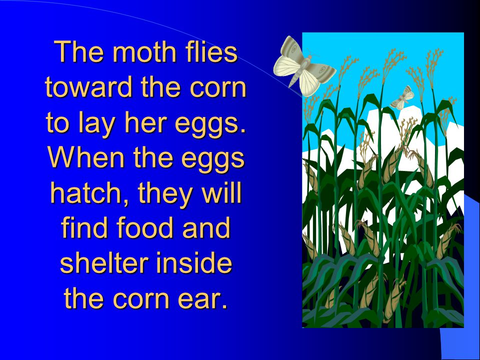 The moth flies toward the corn to lay her eggs.