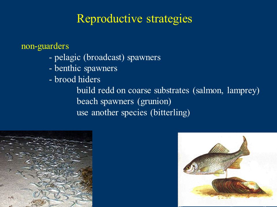 Reproductive strategies non-guarders - pelagic (broadcast) spawners - benthic spawners - brood hiders build redd on coarse substrates (salmon, lamprey) beach spawners (grunion) use another species (bitterling)