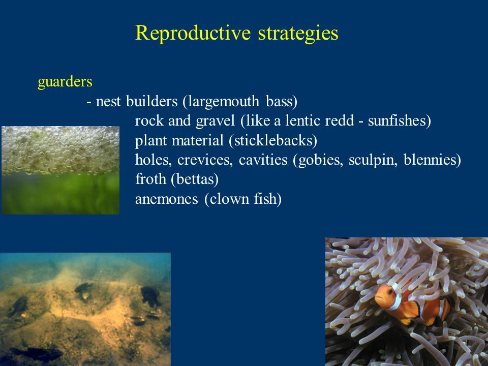 Reproductive strategies guarders - nest builders (largemouth bass) rock and gravel (like a lentic redd - sunfishes) plant material (sticklebacks) holes, crevices, cavities (gobies, sculpin, blennies) froth (bettas) anemones (clown fish)