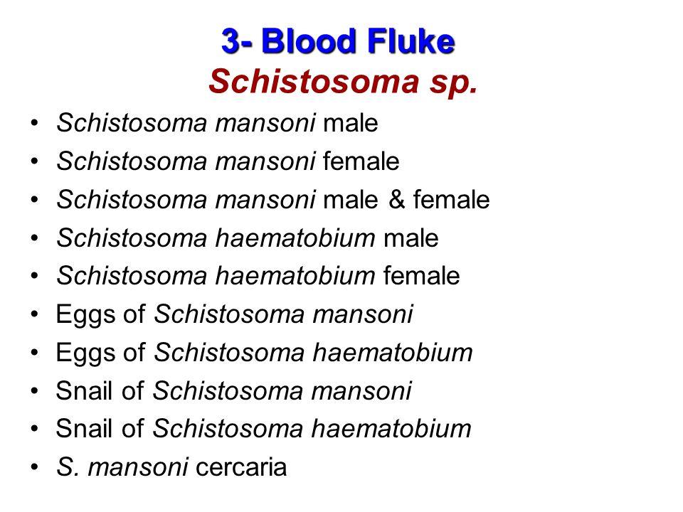 3- Blood Fluke 3- Blood Fluke Schistosoma sp.