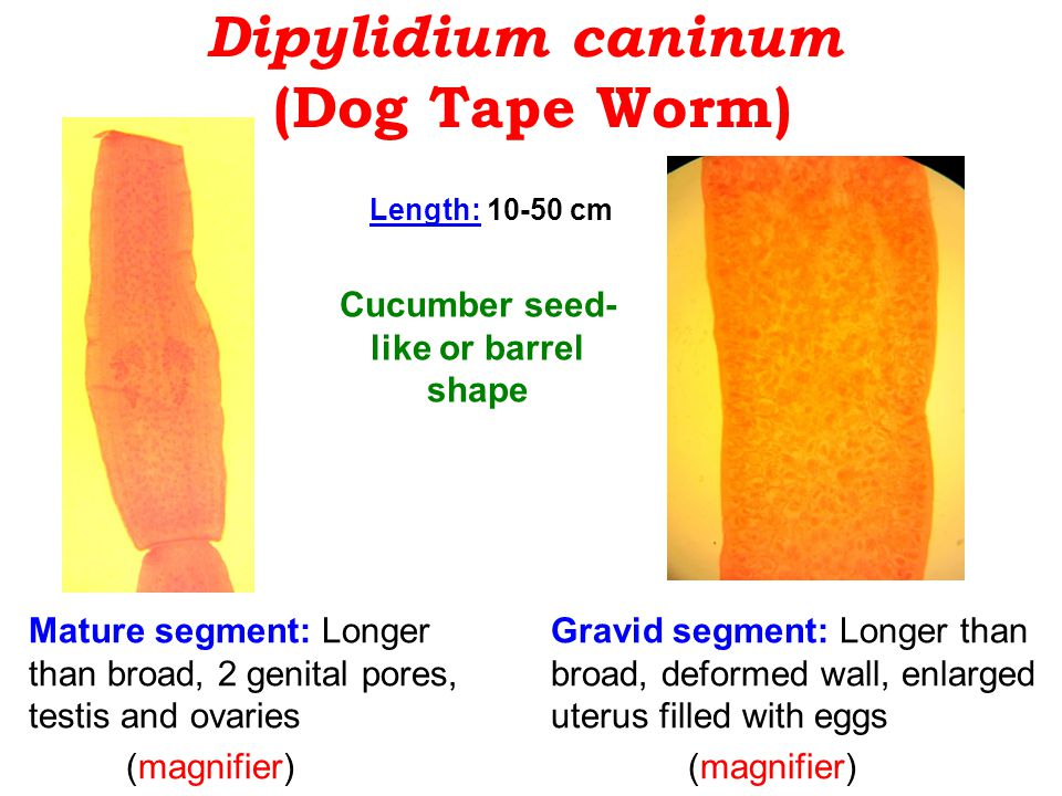 Dipylidium caninum (Dog Tape Worm) Mature segment: Longer than broad, 2 genital pores, testis and ovaries (magnifier) Gravid segment: Longer than broad, deformed wall, enlarged uterus filled with eggs (magnifier) Cucumber seed- like or barrel shape Length: 10-50 cm