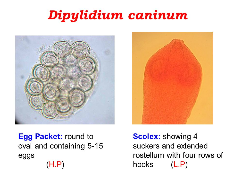 Dipylidium caninum Scolex: showing 4 suckers and extended rostellum with four rows of hooks (L.P) Egg Packet: round to oval and containing 5-15 eggs (