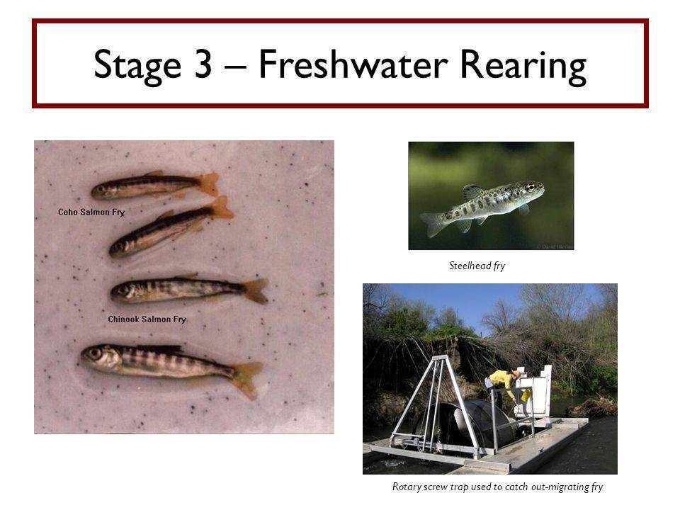 Stage 3 – Freshwater Rearing Steelhead fry Rotary screw trap used to catch out-migrating fry