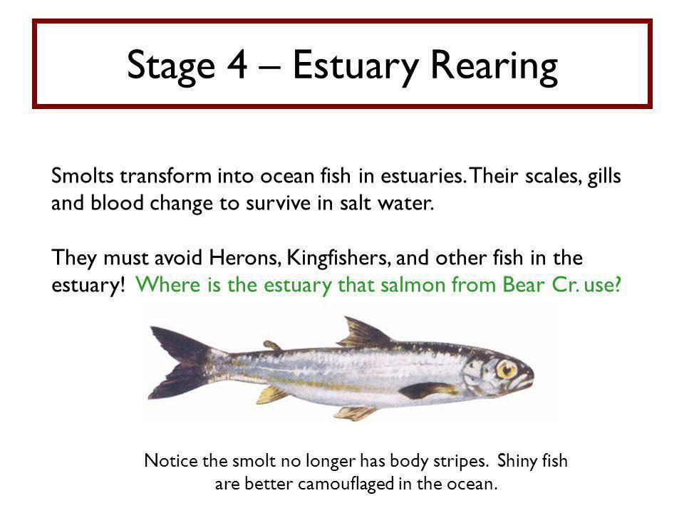 Stage 4 – Estuary Rearing Smolts transform into ocean fish in estuaries.