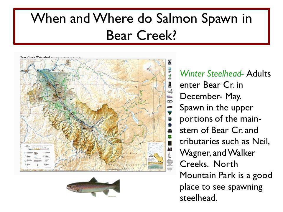 When and Where do Salmon Spawn in Bear Creek.Winter Steelhead- Adults enter Bear Cr.