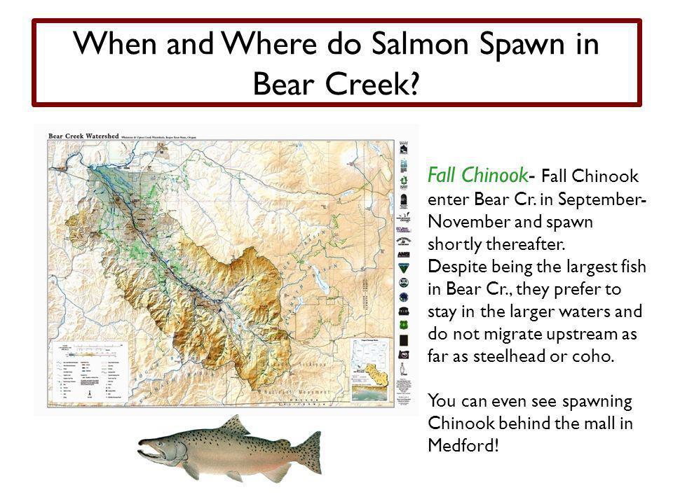 When and Where do Salmon Spawn in Bear Creek.Fall Chinook- Fall Chinook enter Bear Cr.
