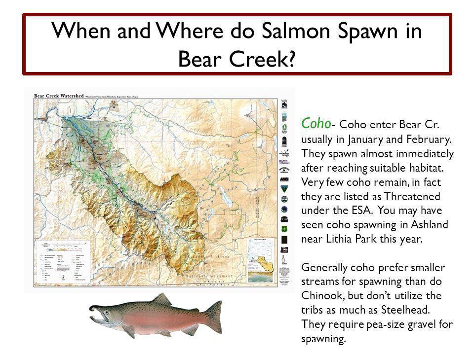 When and Where do Salmon Spawn in Bear Creek.Coho - Coho enter Bear Cr.
