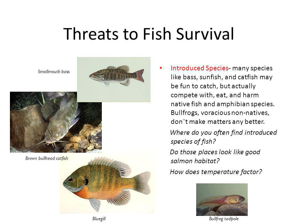 Threats to Fish Survival Introduced Species- many species like bass, sunfish, and catfish may be fun to catch, but actually compete with, eat, and harm native fish and amphibian species.