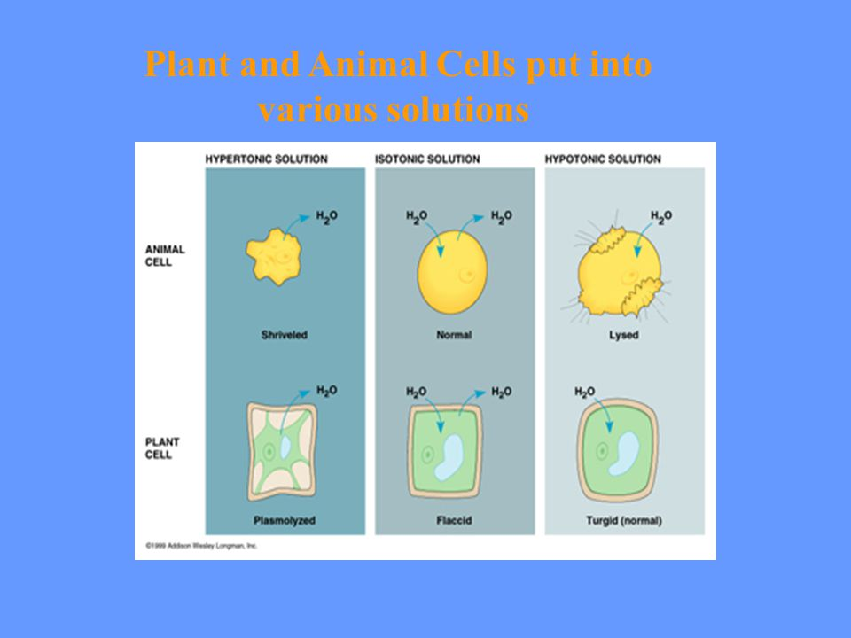 Plant and Animal Cells put into various solutions