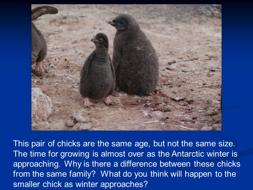 This pair of chicks are the same age, but not the same size.
