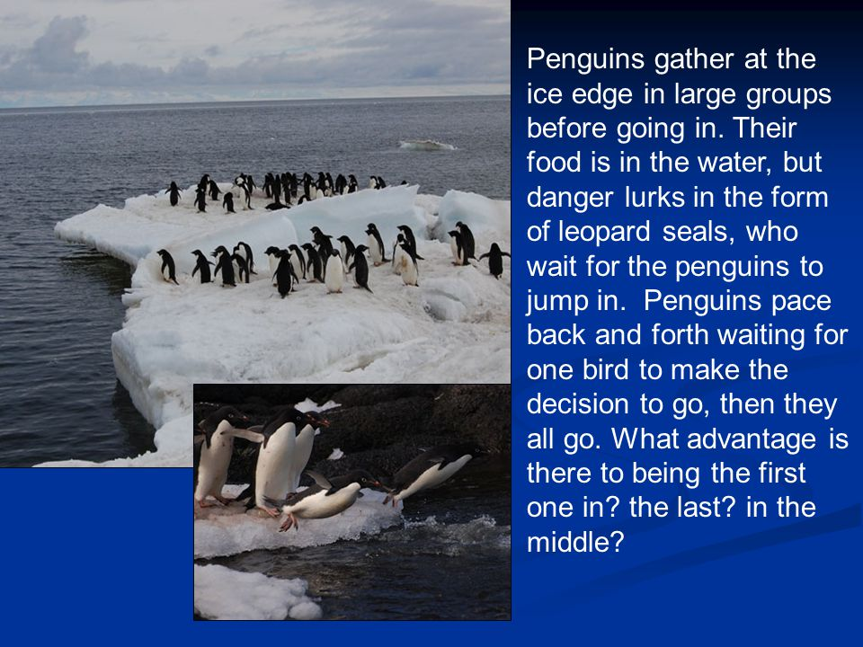 Penguins gather at the ice edge in large groups before going in.