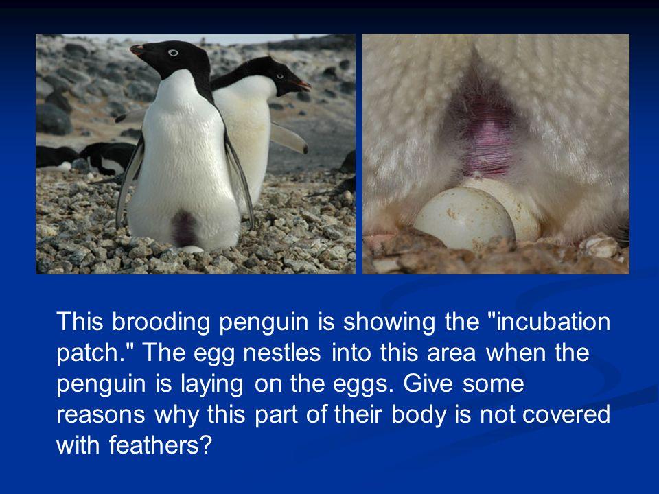 To learn more about Adélie Penguins go to www.penguinscience.com