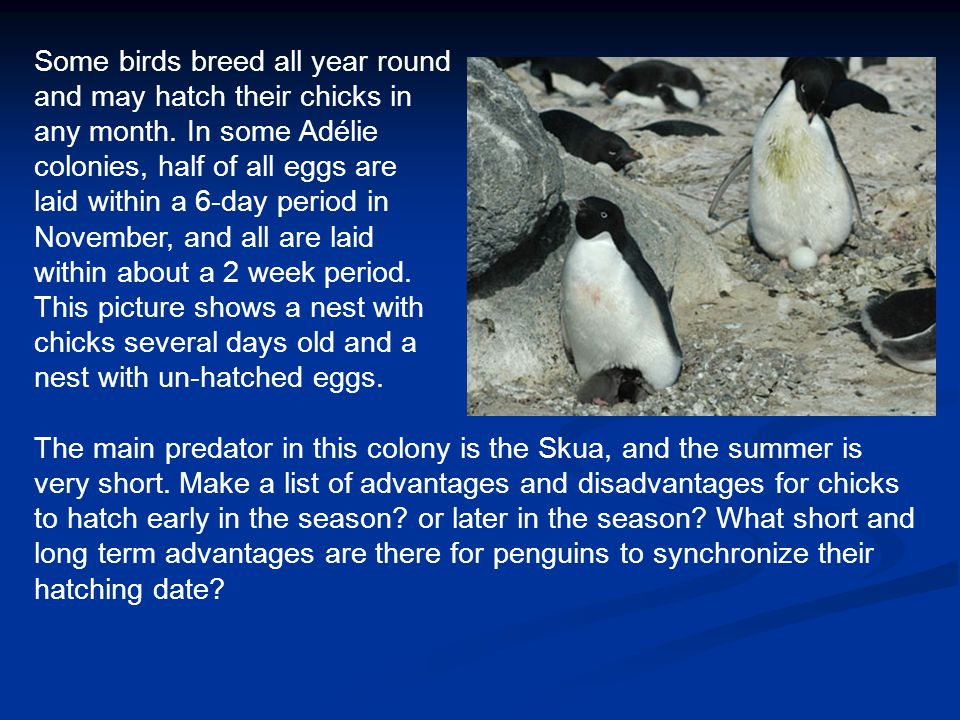 This penguin has been on the nest for 3 days over the normal limit.