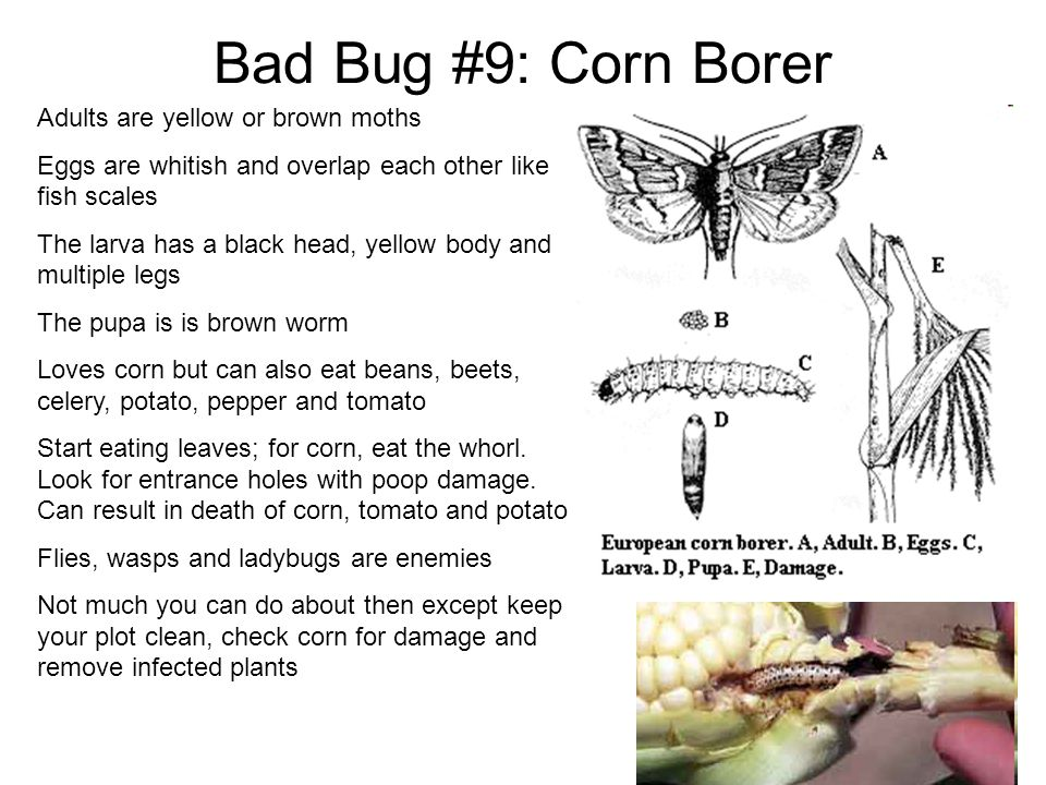 Bad Bug #9: Corn Borer Adults are yellow or brown moths Eggs are whitish and overlap each other like fish scales The larva has a black head, yellow bo