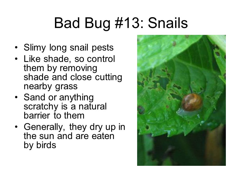 Bad Bug #13: Snails Slimy long snail pests Like shade, so control them by removing shade and close cutting nearby grass Sand or anything scratchy is a