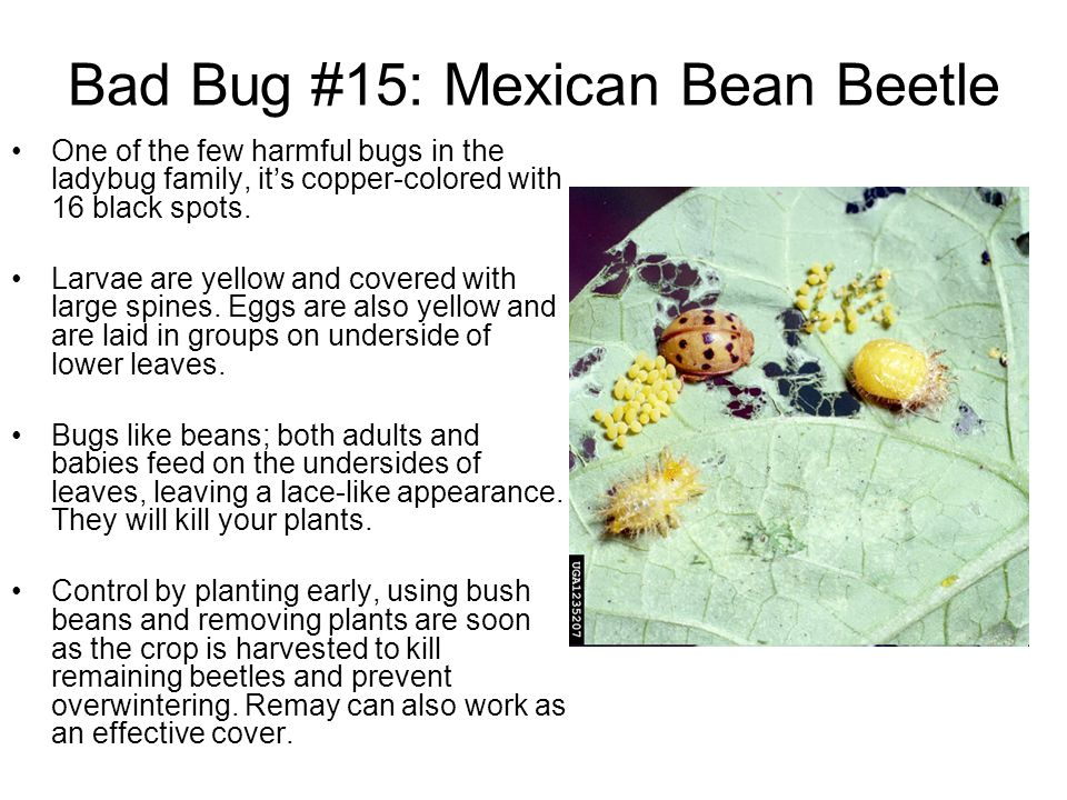 Bad Bug #15: Mexican Bean Beetle One of the few harmful bugs in the ladybug family, its copper-colored with 16 black spots. Larvae are yellow and cove
