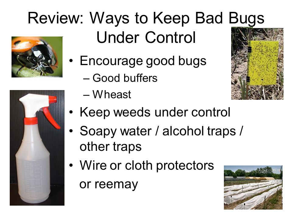 Review: Ways to Keep Bad Bugs Under Control Encourage good bugs –Good buffers –Wheast Keep weeds under control Soapy water / alcohol traps / other tra