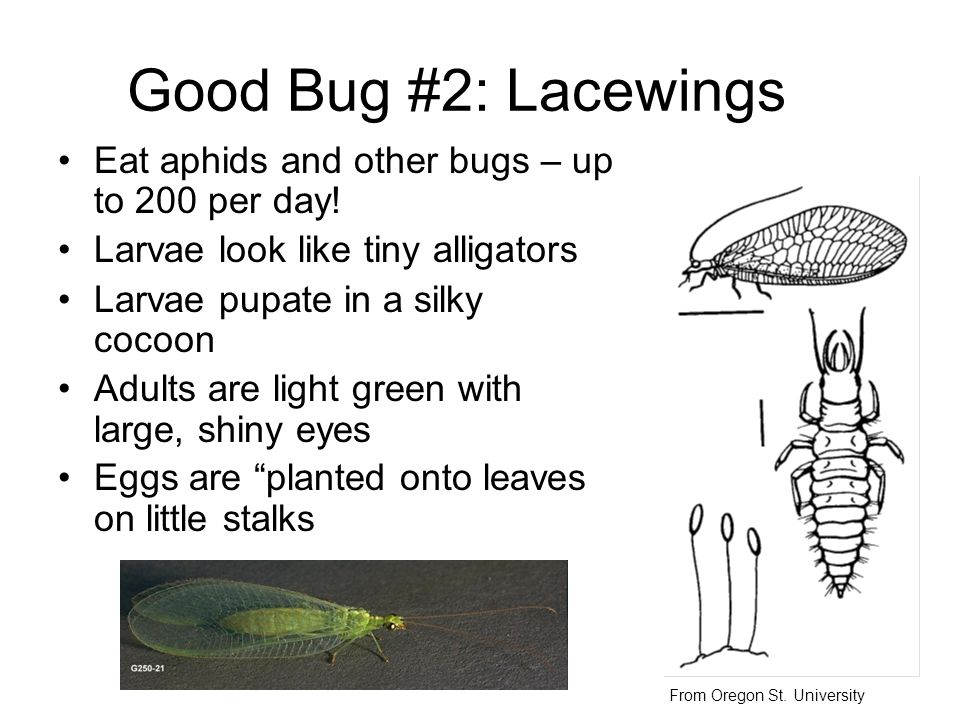 Good Bug #2: Lacewings Eat aphids and other bugs – up to 200 per day! Larvae look like tiny alligators Larvae pupate in a silky cocoon Adults are ligh