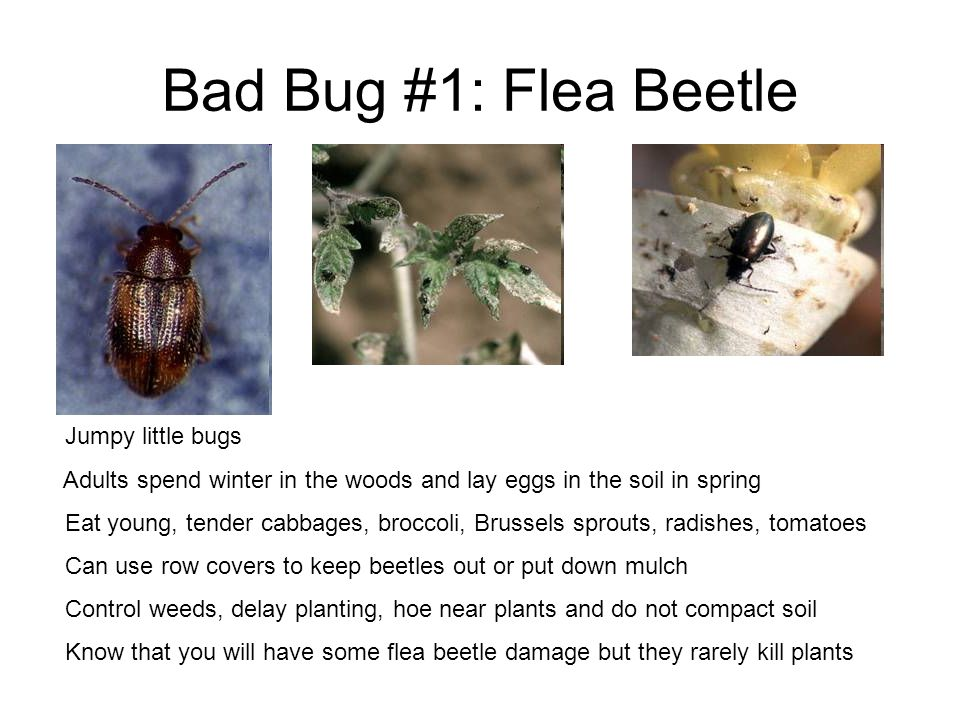 Bad Bug #1: Flea Beetle Jumpy little bugs Adults spend winter in the woods and lay eggs in the soil in spring Eat young, tender cabbages, broccoli, Br