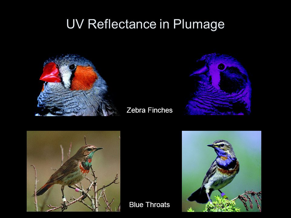 UV Reflectance in Plumage Zebra Finches Blue Throats