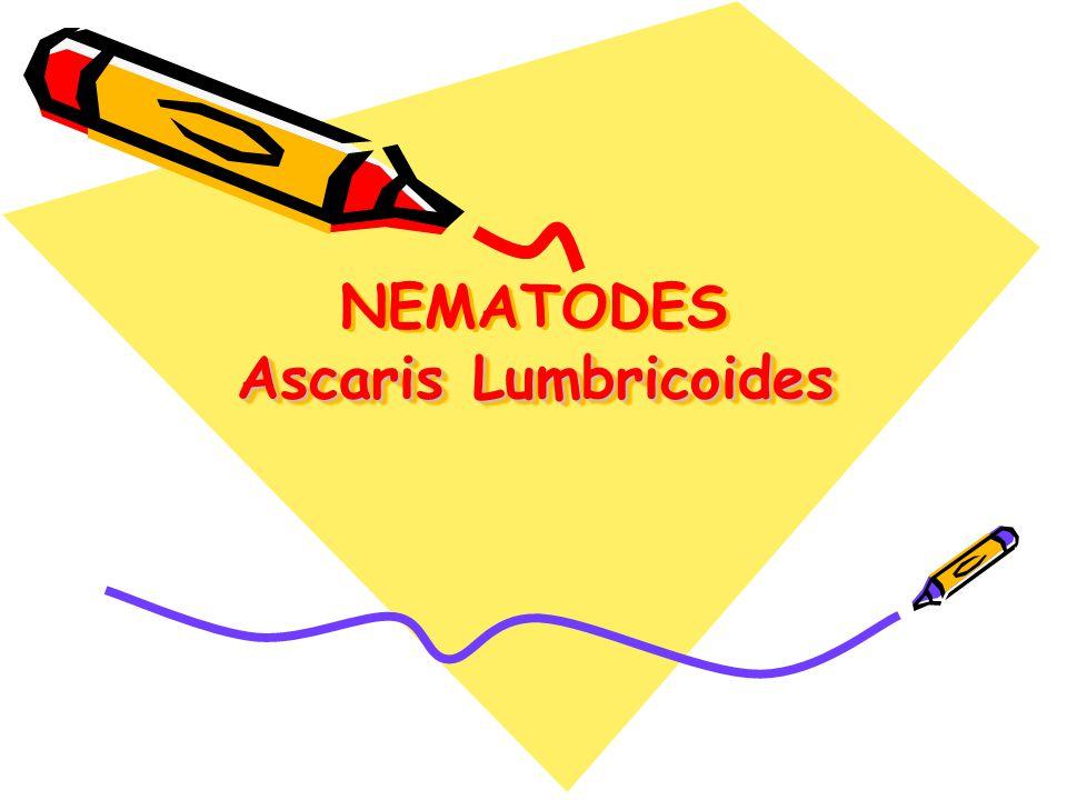 NEMATODES (Round Worms) Ascaris lumbricoides (roundworm), Trichinella spiralis (trichinosis), Trichuris trichiura (whipworm), Enterobius vermicularis (pinworm), Strongyloides stercoralis (Cochin-china diarrhea), Ancylostoma duodenale and Necator americanes (hookworms)