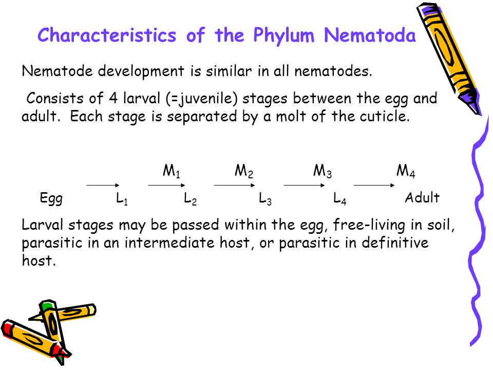 Characteristics of the Phylum Nematoda Nematode development is similar in all nematodes. Consists of 4 larval (=juvenile) stages between the egg and a