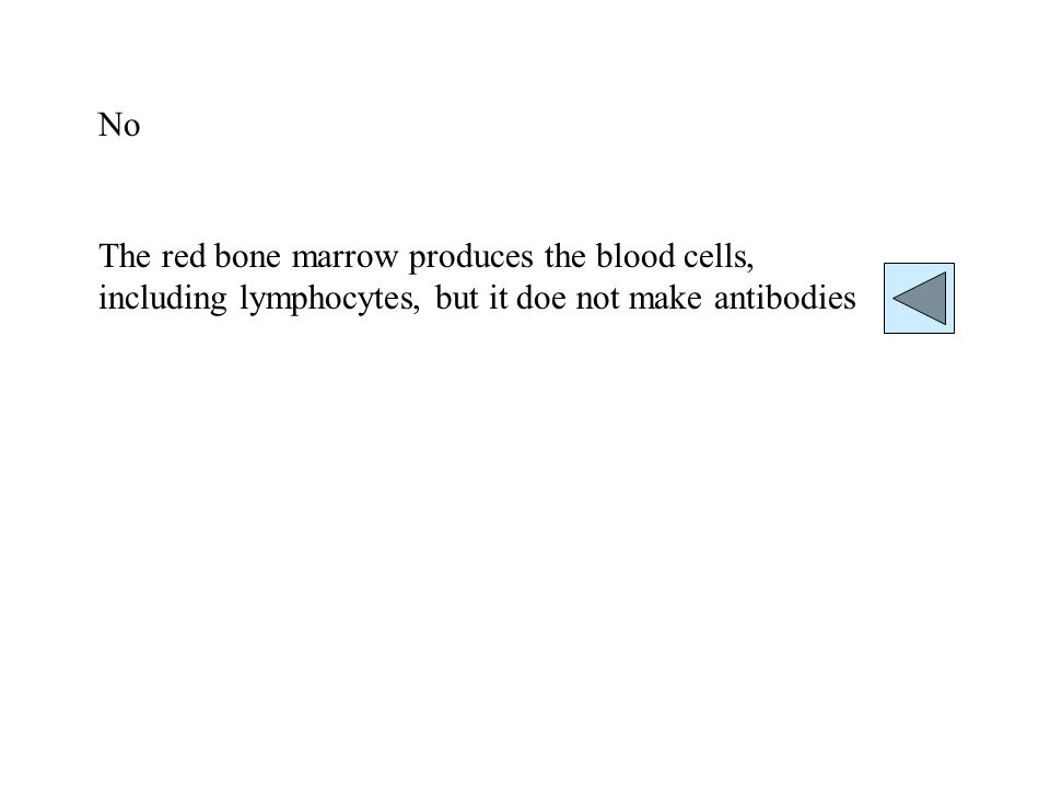 No The red bone marrow produces the blood cells, including lymphocytes, but it doe not make antibodies