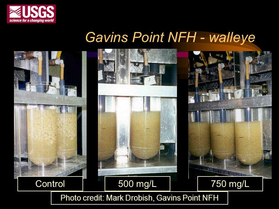 Gavins Point NFH - walleye Control 500 mg/L 750 mg/L Photo credit: Mark Drobish, Gavins Point NFH