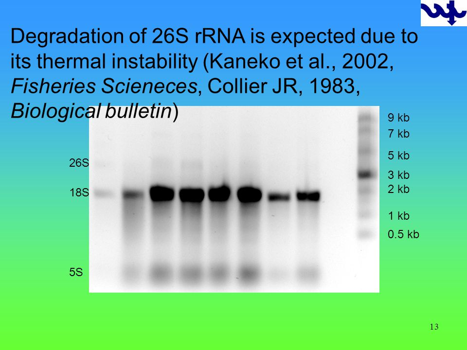 13 0.5 kb 1 kb 2 kb 3 kb 5 kb 7 kb 9 kb 18S 26S Degradation of 26S rRNA is expected due to its thermal instability (Kaneko et al., 2002, Fisheries Scieneces, Collier JR, 1983, Biological bulletin) 5S