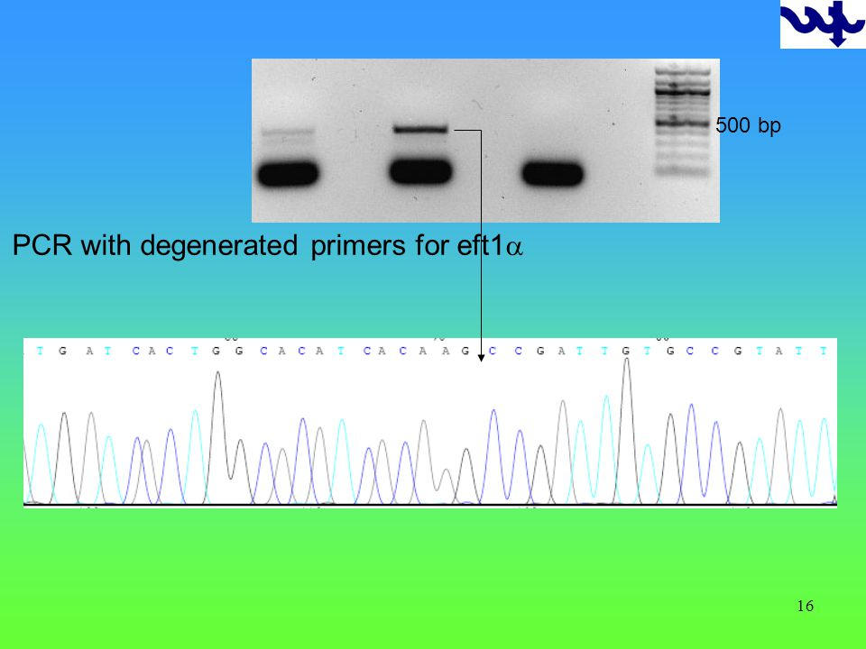 16 PCR with degenerated primers for eft1 500 bp