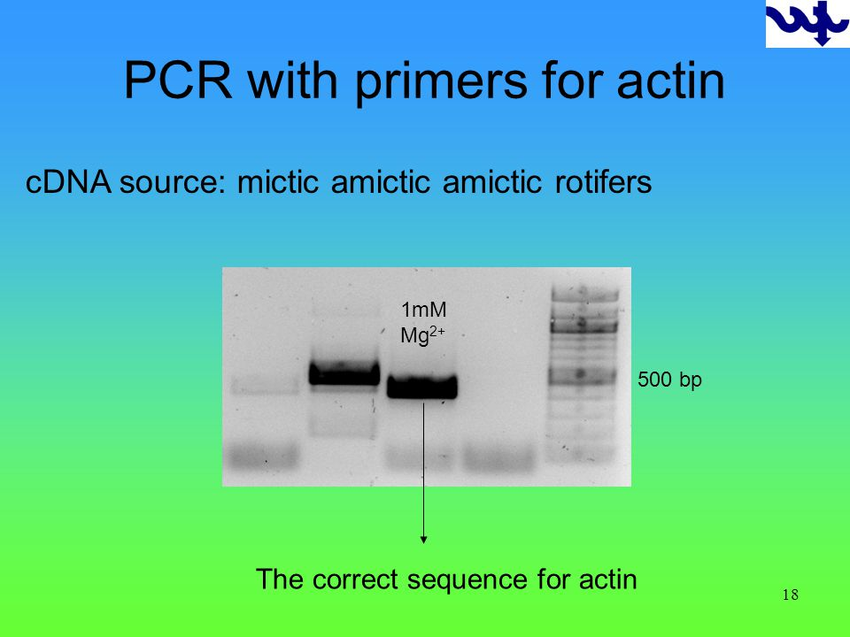 18 PCR with primers for actin 500 bp 1mM Mg 2+ The correct sequence for actin cDNA source: mictic amictic amictic rotifers