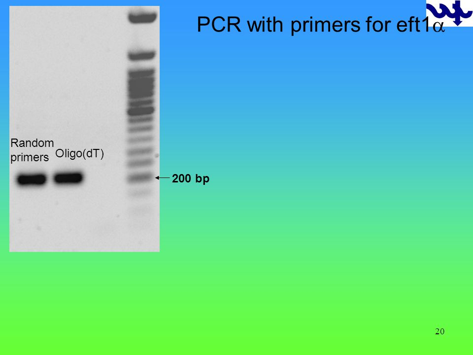 20 200 bp Random primers Oligo(dT) PCR with primers for eft1