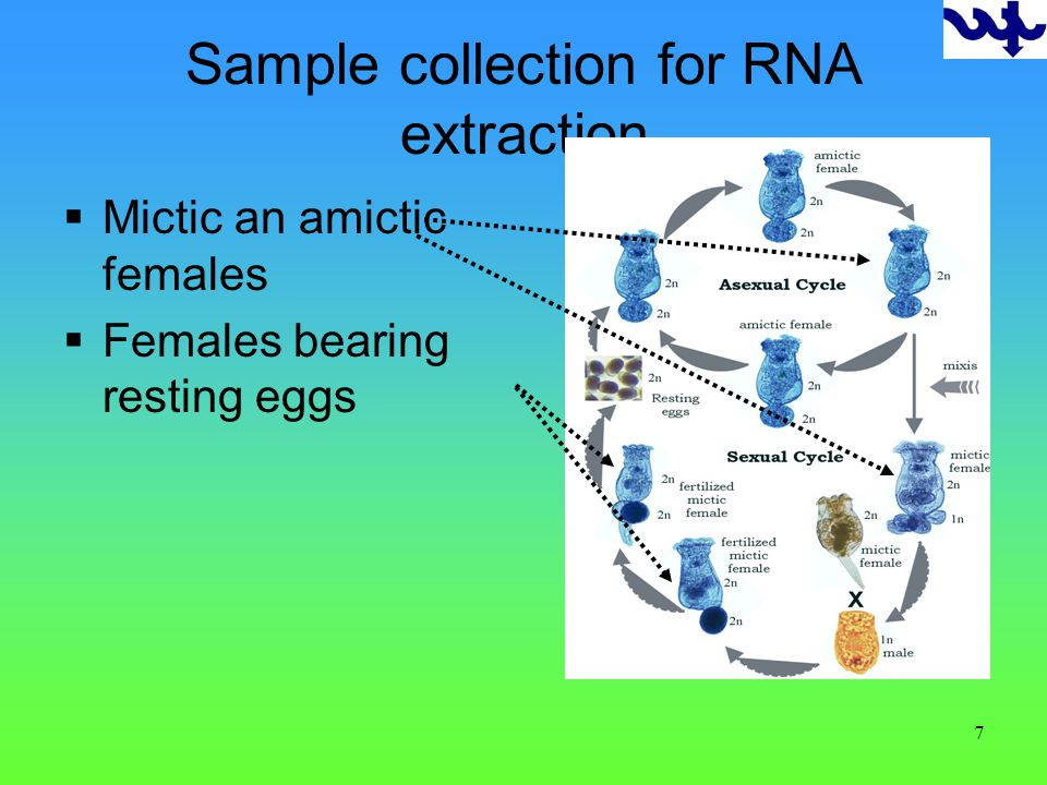 7 Sample collection for RNA extraction Mictic an amictic females Females bearing resting eggs