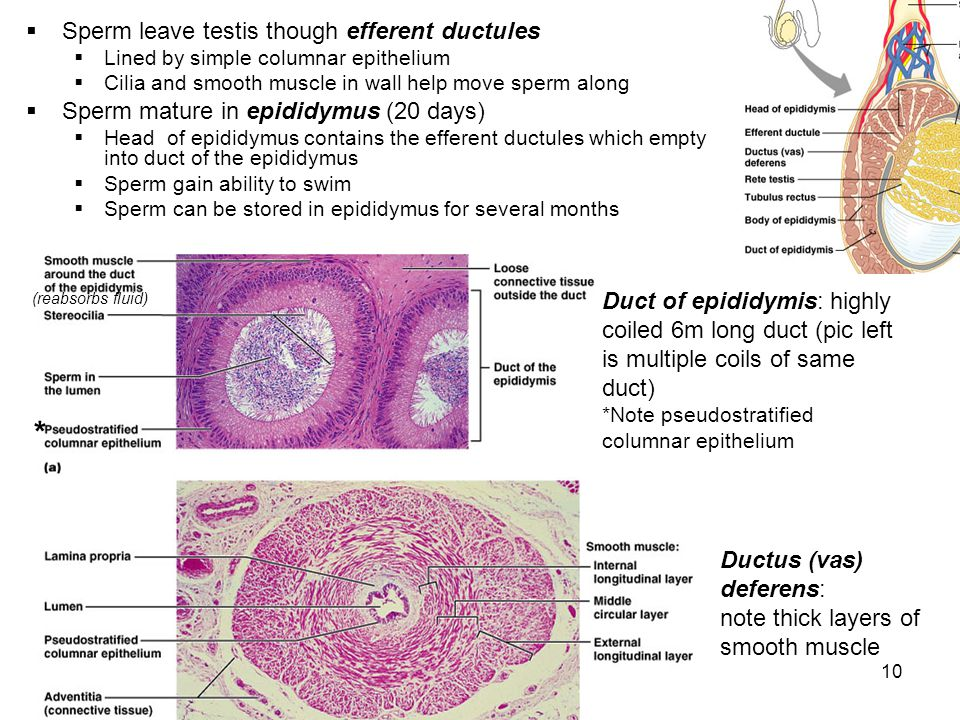 10 Sperm leave testis though efferent ductules Lined by simple columnar epithelium Cilia and smooth muscle in wall help move sperm along Sperm mature