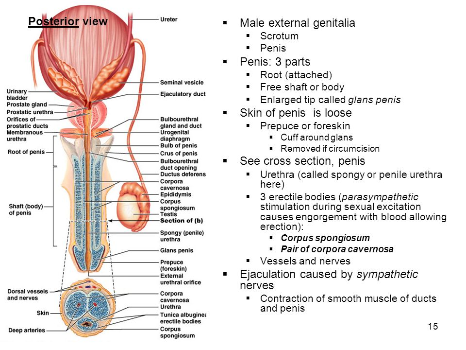 15 Male external genitalia Scrotum Penis Penis: 3 parts Root (attached) Free shaft or body Enlarged tip called glans penis Skin of penis is loose Prep