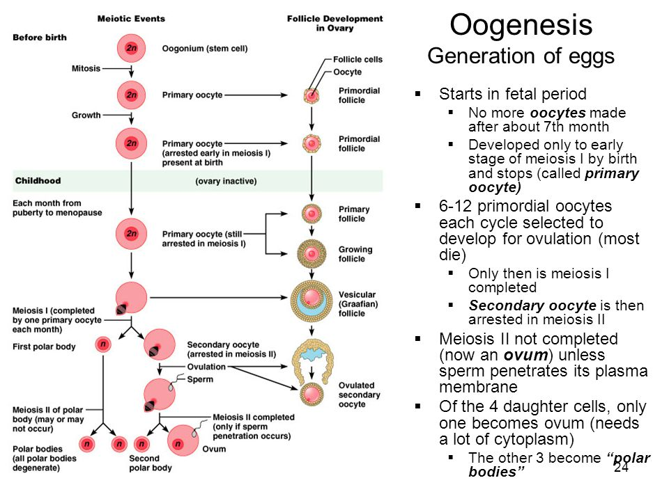 24 Oogenesis Generation of eggs Starts in fetal period No more oocytes made after about 7th month Developed only to early stage of meiosis I by birth