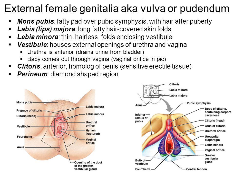 34 External female genitalia aka vulva or pudendum Mons pubis: fatty pad over pubic symphysis, with hair after puberty Labia (lips) majora: long fatty