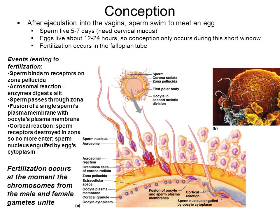 37 Conception After ejaculation into the vagina, sperm swim to meet an egg Sperm live 5-7 days (need cervical mucus) Eggs live about 12-24 hours, so c