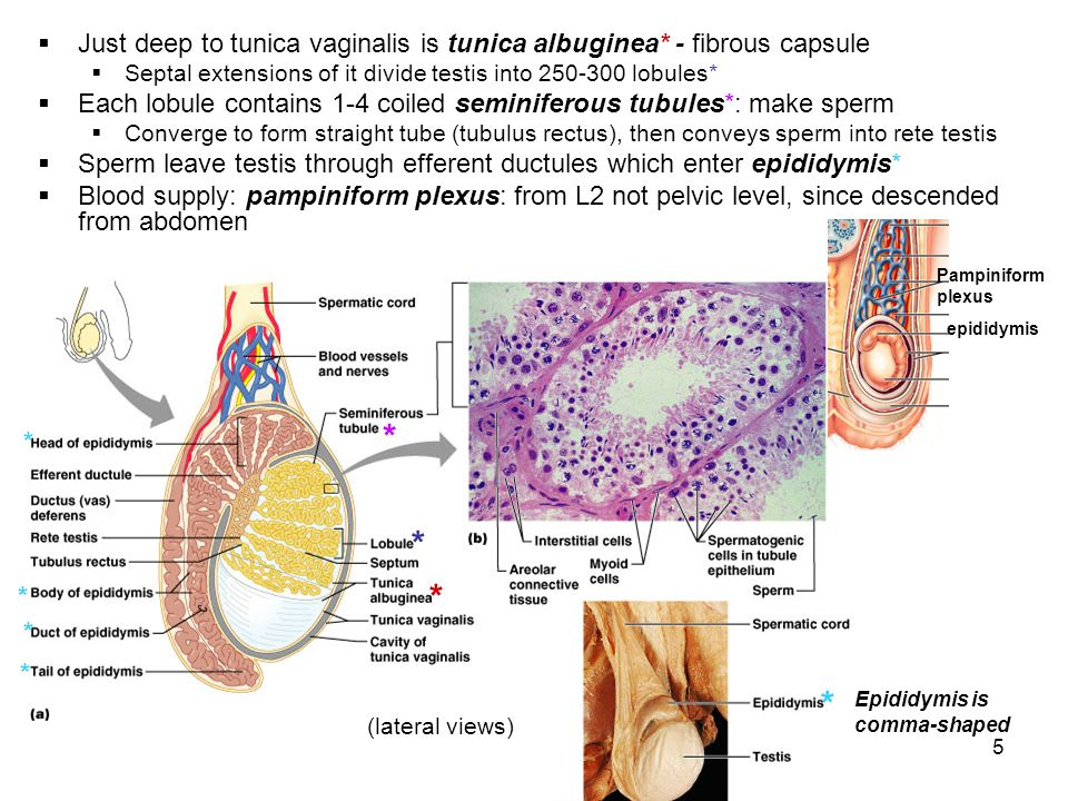 5 Just deep to tunica vaginalis is tunica albuginea* - fibrous capsule Septal extensions of it divide testis into 250-300 lobules* Each lobule contain