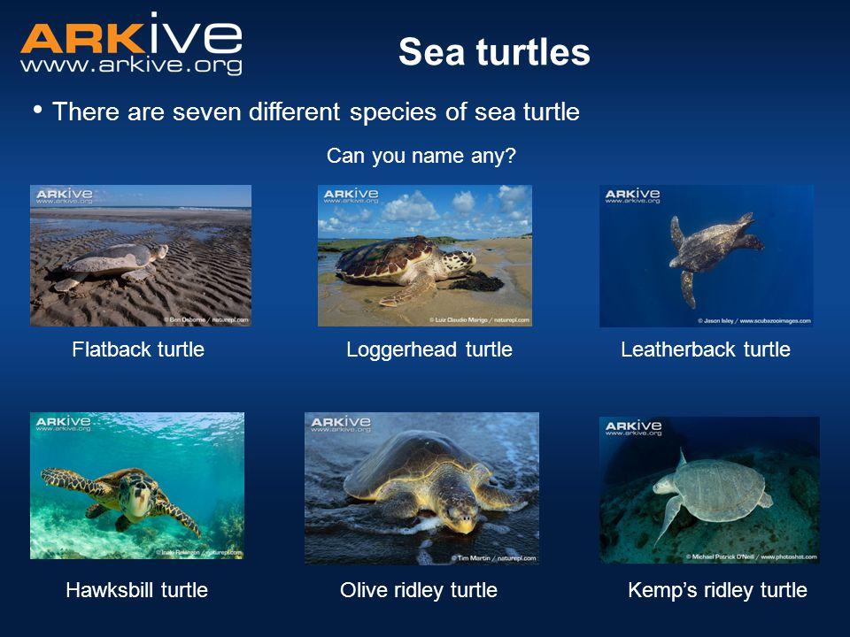There are seven different species of sea turtle Sea turtles Can you name any? Flatback turtle Hawksbill turtle Leatherback turtleLoggerhead turtle Oli