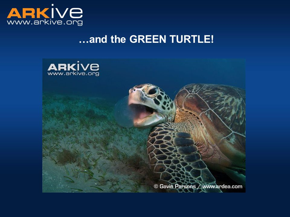 Green turtle Why are they called green turtles.Green turtles can live a very long time.