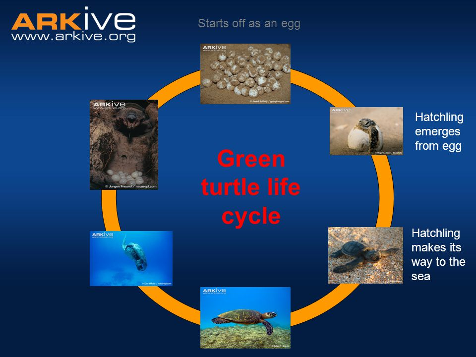 Starts off as an egg Hatchling emerges from egg Green turtle life cycle Hatchling makes its way to the sea