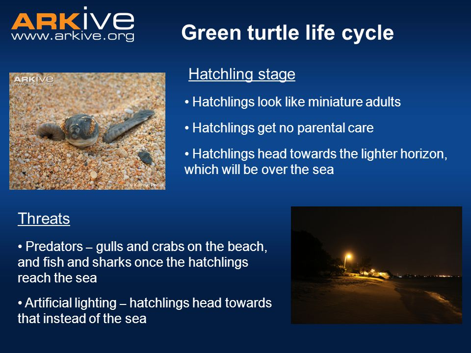 Starts off as an egg Hatchling grows into a juvenile and then into an adult Green turtle life cycle Hatchling makes its way to the sea Hatchling emerges from egg