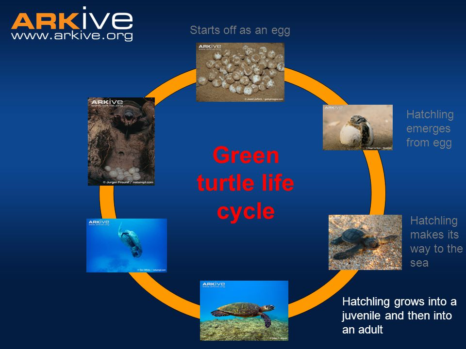 Starts off as an egg Hatchling grows into a juvenile and then into an adult Green turtle life cycle Hatchling makes its way to the sea Hatchling emerg