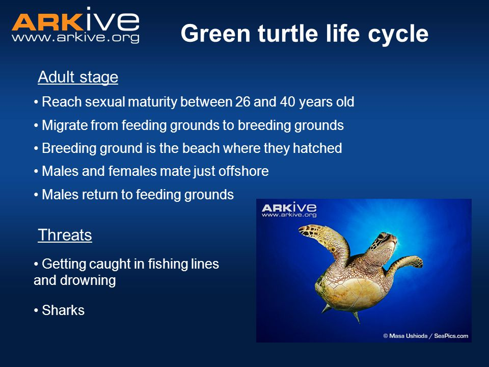 Green turtle life cycle Males return to feeding grounds Getting caught in fishing lines and drowning Adult stage Reach sexual maturity between 26 and