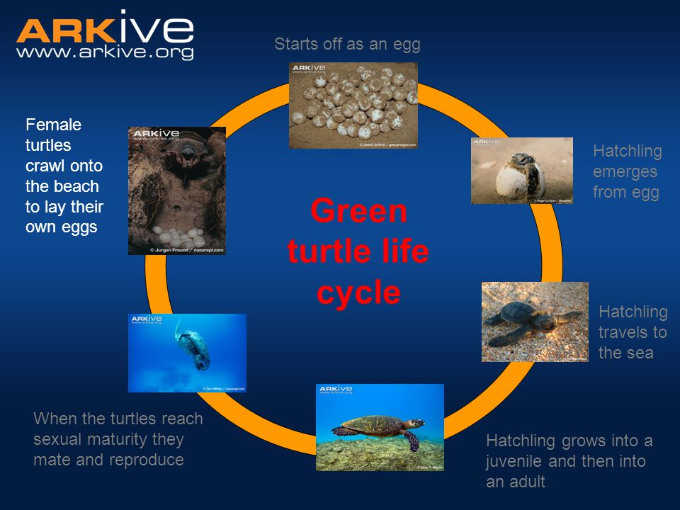 Noise and lights Green turtle life cycle Egg laying Female crawls onto the beach at night to lay eggs Female uses its back flippers to dig a nest Lays eggs in nest Female may come up onto the beach up to nine times per nesting season to lay eggs Once several clutches of eggs have been laid, female returns to feeding grounds Threats Beach pollution