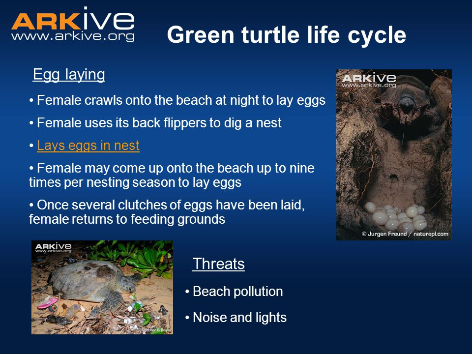 Noise and lights Green turtle life cycle Egg laying Female crawls onto the beach at night to lay eggs Female uses its back flippers to dig a nest Lays